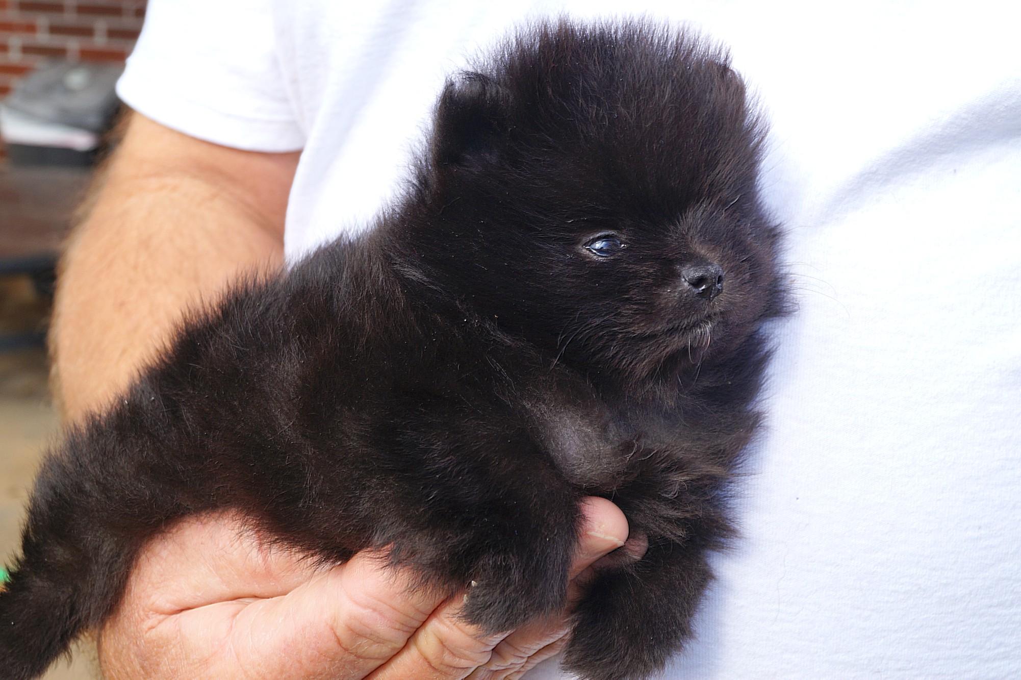 Burnettes Exclusive Pomeranians For Sale Cumming Georgia