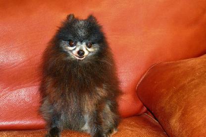 Burnette's Exclusive Pomeranians, CKC pom pups, AKC dogs, Cumming, GA,